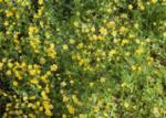 Douglas' meadowfoam, Limnanthes douglasii