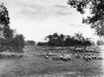 Pasadena sheep ranch