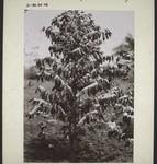 Coffee tree in full bloom, Kaffeebaum in der Blüte stehend