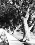 Trees along Lankershim Boulevard, 1915