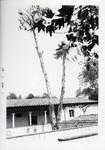Eucalyptus tree, Scripps College