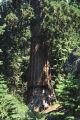 Giant sequoia, Sequoiadendron giganteum