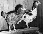 Cornish cross chickens