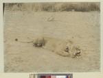Dead Lioness, Kenya, ca.1908-1912