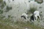 Goat and kid, Oreamnos americanus