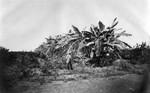 Banana groves at Wolfskill