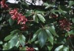 Red buckeye, Aesculus pavia