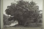 Giant bamboos, Riesenbambus