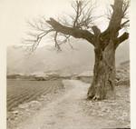 Old tree along village path