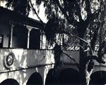 Large eucalyptus tree, Scripps College