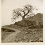 Old tree along narrow mountain path
