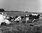 Cattle in dairy farm feedlot