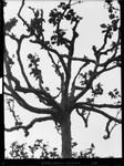 Trees - Plane Trees. [negative]